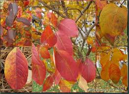 Crepe_Myrtle_Fall_Leaves.jpg