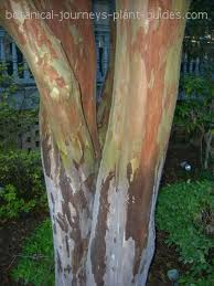 Crepe_Myrtle_Winter_Bark.jpg